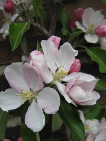 Lovely apple blossom. I often enjoy using fruit trees and other beautiful edible plants in ornamental plantings