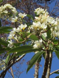 Sacuanjoche (Plumeria rubra): the national flower of Nicaragua