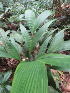 These swallow-tail palms are best for the more intricate bits of weaving on your roof