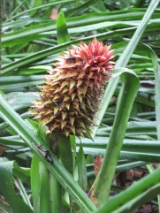 Wild pineapple - we can't eat these but they are where pineapples as we know them come from, and they're very pretty